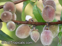 Prunus persica, Amygdalus persica, Peach  Click to see full-size image