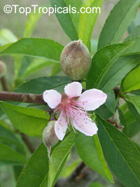 Prunus persica, Amygdalus persica, Peach