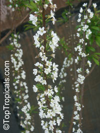 Prunus x domestica, Plum  Click to see full-size image