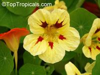 Tropaeolum majus, Tropaeolum hybridum, Garden Nasturtium, Indian Cress, Monks Cress  Click to see full-size image