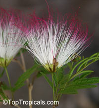 Calliandra parvifolia - PowderpuffClick to see full-size image