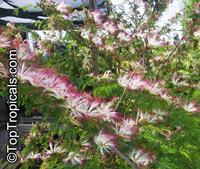 Calliandra parvifolia, Powderpuff, Pink Calliandra, Plumerillo Rosado  Click to see full-size image