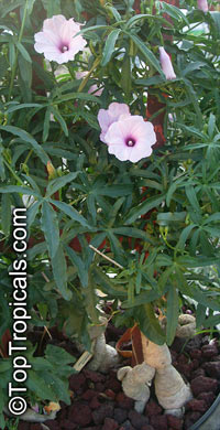 Ipomoea platensis - Caudiciform Morning Glory  Click to see full-size image