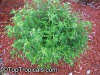 Heliotropium sp., Turnsole, Heliotrope  Click to see full-size image