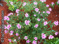 Catharanthus roseus, Vinca rosea, Madagascar Periwinkle, Vinca  Click to see full-size image