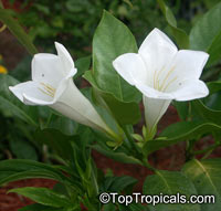 Portlandia latifolia - Dwarf Bell Flower  Click to see full-size image