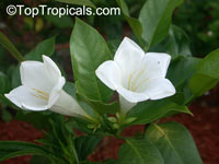 Portlandia latifolia, Dwarf Bell Flower, White horse flower, Tree Lily  Click to see full-size image