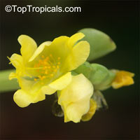 Portulaca molokiniensis, Hawaiian Portulaca, 'Ihi  Click to see full-size image