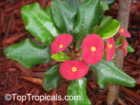 Euphorbia milii, Crown of thorns  Click to see full-size image