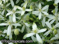 Clematis terniflora, Sweet Autumn Clematis  Click to see full-size image