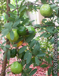Psidium guajava Nana - Dwarf GuavaClick to see full-size image