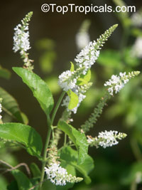 Aloysia virgata - Almond Bush  Click to see full-size image