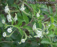 Aloysia virgata, Sweet Almond Bush, Incense Bush  Click to see full-size image