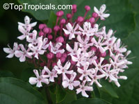 Clerodendrum bungei, Cashmere (Cashmir) bouquet, Glory Bower, Clerodendron  Click to see full-size image
