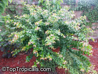 Eugenia uniflora, Eugenia michelii, Surinam Cherry, Pitanga, Brazilian Cherry  Click to see full-size image