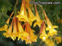 Tecoma X smithii, Orange Bells  Click to see full-size image