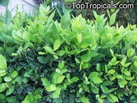 Laurus nobilis, Bay Leaf