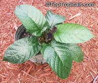 Dorstenia bahiensis, Dorstenia  Click to see full-size image