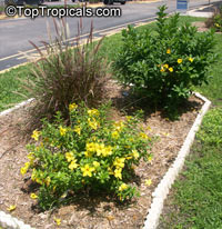 Allamanda schottii, Dwarf Golden Trumpet