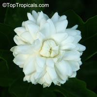 Jasminum sambac Grand Duke Supreme, Jasminum Supreme  Click to see full-size image