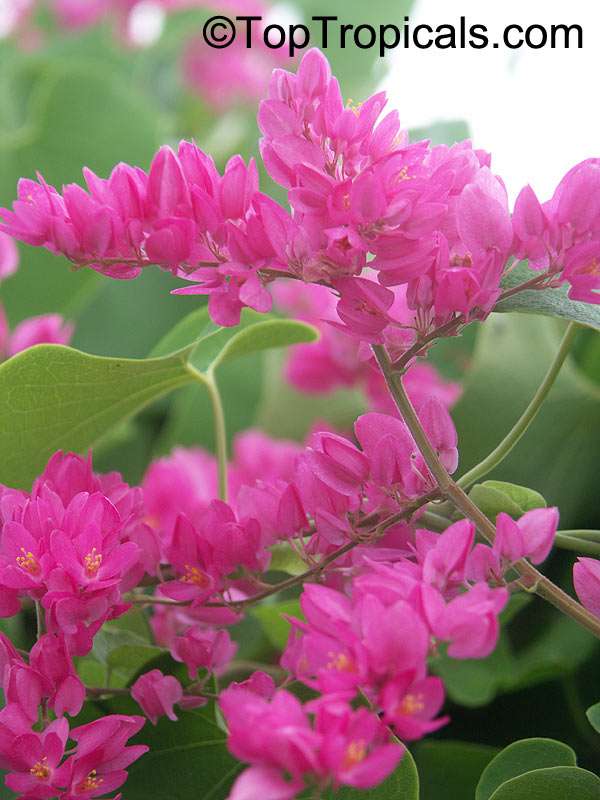 Toptropicals rare plants for home and garden antigonon leptopus mexican coral vine click to see full size image mightylinksfo
