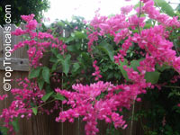 Antigonon leptopus, Mexican Coral Vine, Coral Creeper, Honolulu Creeper, Corallita, Chinese Love Vine  Click to see full-size image