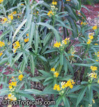 Asclepias tuberosa, Milkweed, Flame Weed, Butterfly Weed, Gay Butterflies, Pleurisy RootClick to see full-size image