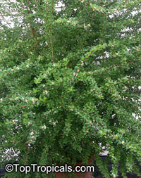 Nashia inaguensis, Moujean Tea, Bahamas Berry, Pineapple VerbenaClick to see full-size image
