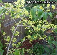 Holmskioldia citrina, Holmskioldia sanguinea 'Citrina' , Mandarin Sunrise, Mandarins hat, Yellow Chinese HatClick to see full-size image