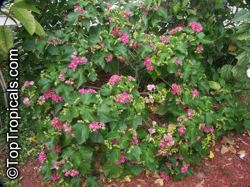 Dombeya X Seminole Tropical Rose Hydrangea Toptropicals Com