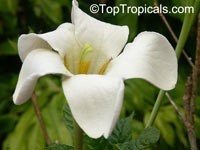 Euclinia longiflora, Randia macrantha, Angel's Trumpets, Tree Gardenia  Click to see full-size image