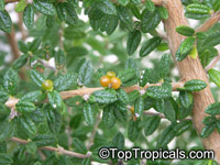 Nashia inaguensis, Moujean Tea, Bahamas Berry, Pineapple Verbena  Click to see full-size image