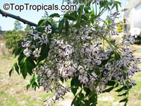 Melia azedarach, Chinaberry Tree, Indian Lilac, Pride of India, White Cedar  Click to see full-size image