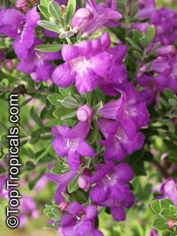 Leucophyllum frutescens - Texas Sage  Click to see full-size image