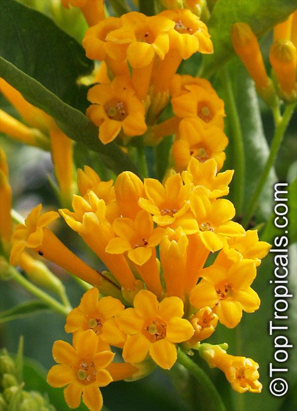 Cestrum aurantiacum cestrum chaculanum cestrum paucinervium cestrum aurantiacum yellow day blooming jasmine click to see full size image mightylinksfo