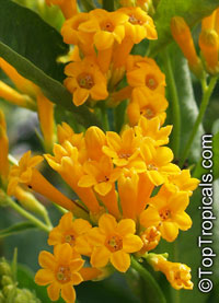 Cestrum aurantiacum - Yellow Day Blooming Jasmine  Click to see full-size image