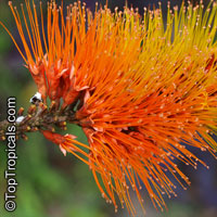Combretum sp., Flame Creeper, Burning Bush  Click to see full-size image