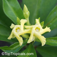 Thevetia ahouai, Ahouai nitida, Plumeriopsis ahouai, Broadleaf Thevetia, Yellow oleander, Dog's Tongue, Dog Balls, Grandfather's Balls  Click to see full-size image