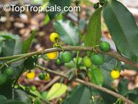 Rheedia brasiliensis, Rheedia laterifolia, Garcinia laterifolia, Bakupari, CamboriuClick to see full-size image