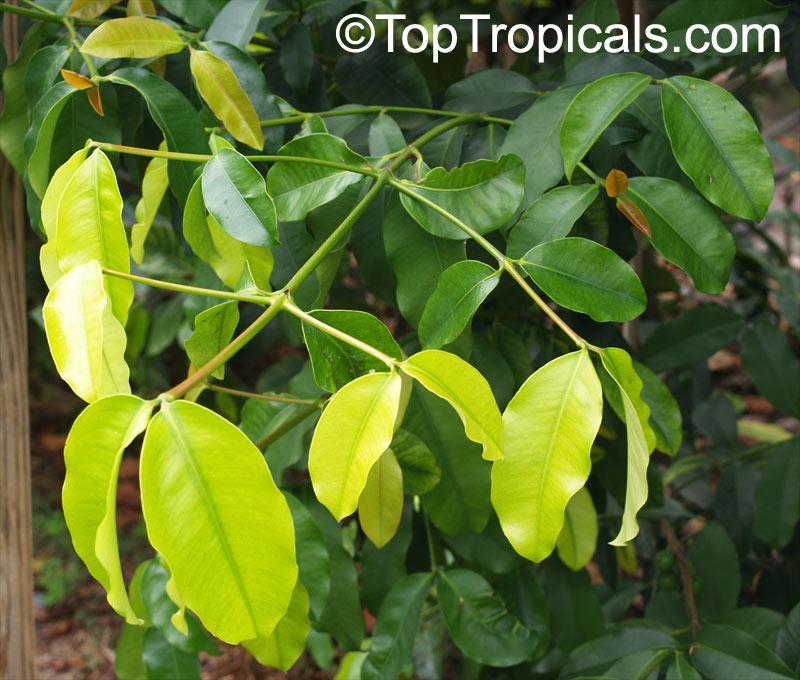 Rheedia brasiliensis, Rheedia laterifolia, Garcinia laterifolia ...