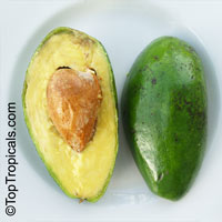 Persea americana - Avocado Lila, 3 gal pot, Grafted