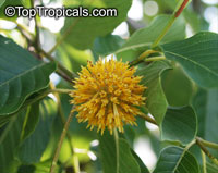Mitragyna speciosa, Kratom  Click to see full-size image