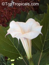 Datura sp., Thorn Apple, Angel's Trumpet  Click to see full-size image