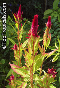 Celosia argentea, Cockscomb, Feathered Amaranth, Woolflower, Red Fox