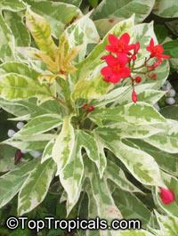 Jatropha integerrima Variegata  Click to see full-size image