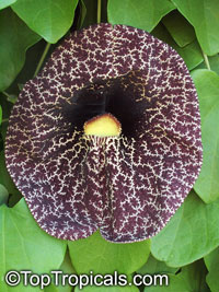 Aristolochia gigantea - Giant Pelican Flower  Click to see full-size image