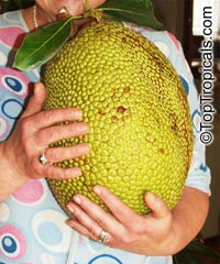 Artocarpus heterophyllus - Jackfruit Red Morning  Click to see full-size image