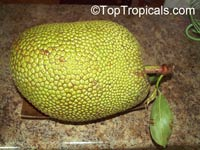 Artocarpus heterophyllus - Jackfruit Fairchilds First, grafted  Click to see full-size image