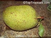Artocarpus heterophyllus - Jackfruit Fairchilds First, graftedClick to see full-size image