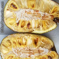 Artocarpus heterophyllus - Jackfruit Gold Nugget, grafted  Click to see full-size image